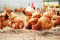 Avian Influenza Key Points