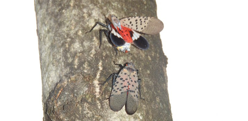 Look out for Spotted Lanternfly